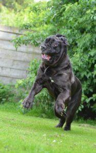 Mastino großer Hund