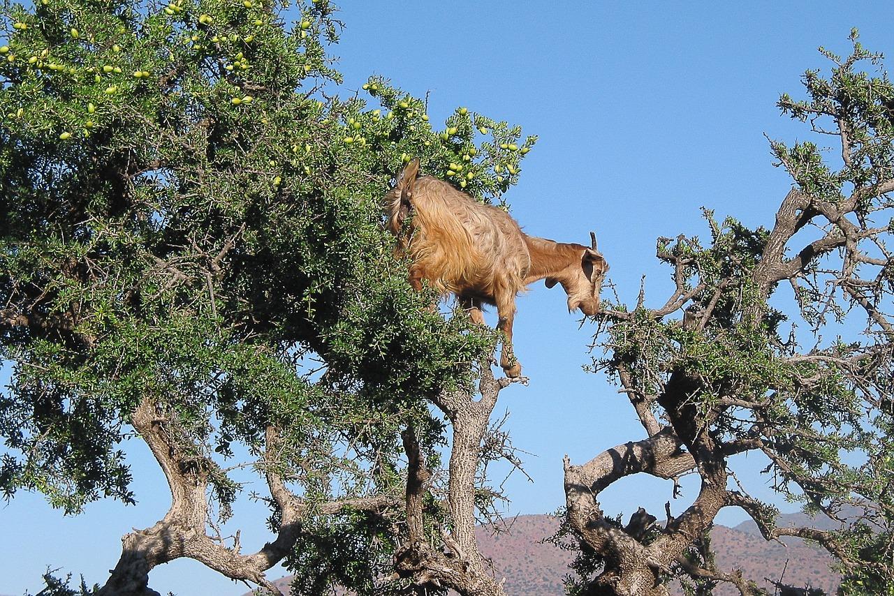 arganbaum, arganöl kaufen