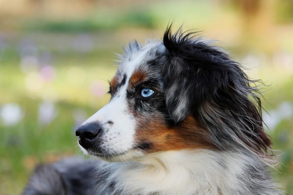 australischer schäferhund schlauste hunderasse