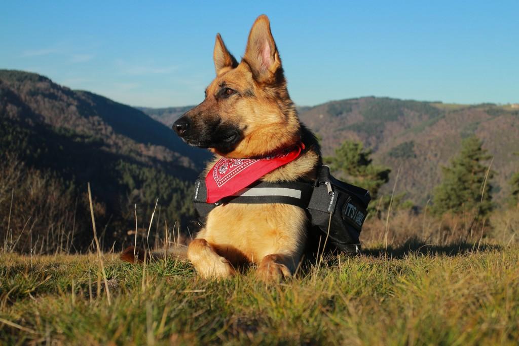 intelligente hunde deutscher schäferhund
