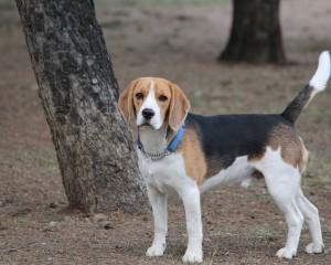 Was ist die schlauste Hunderasse der Welt?
