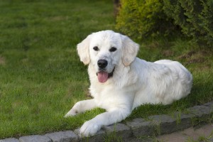 golden retriever intelligente hunde
