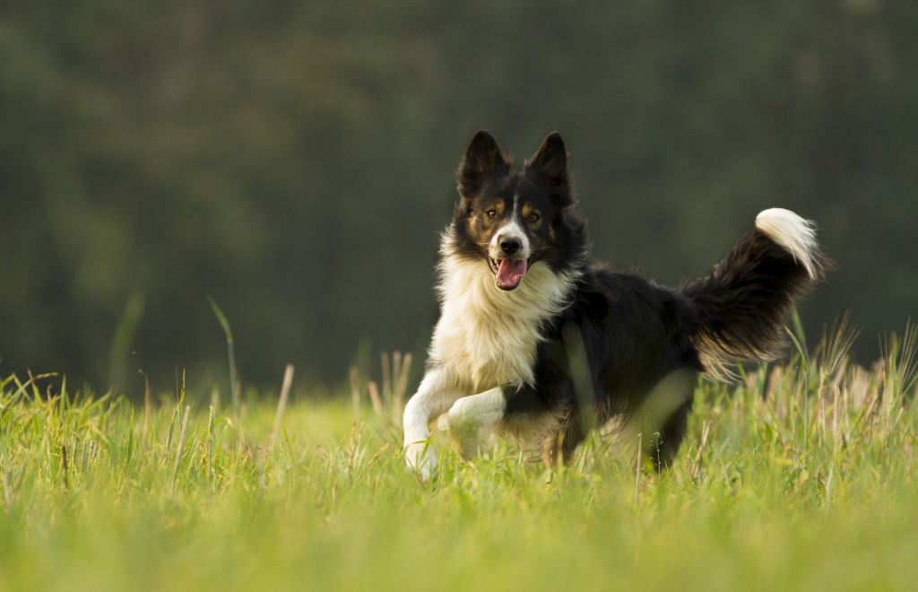 schlauste hunderasse border collie