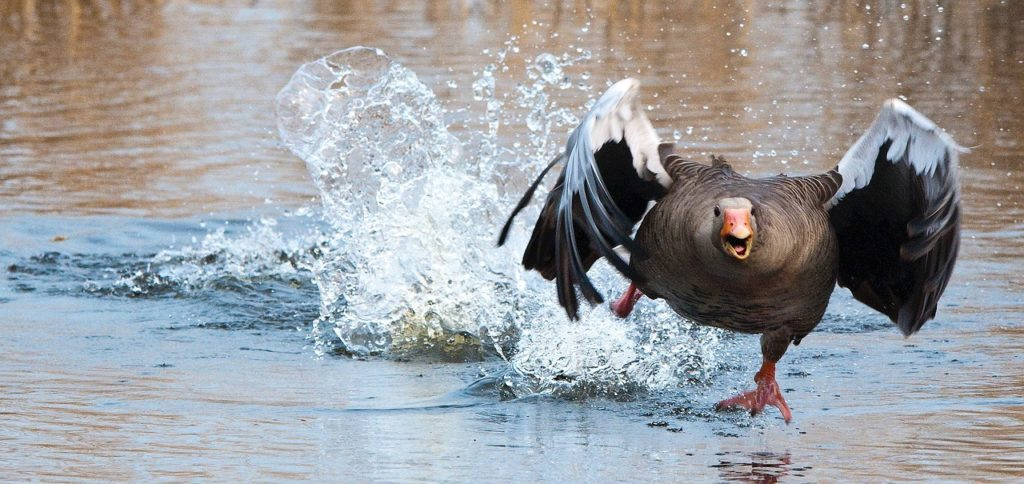 schnellste vögel der welt