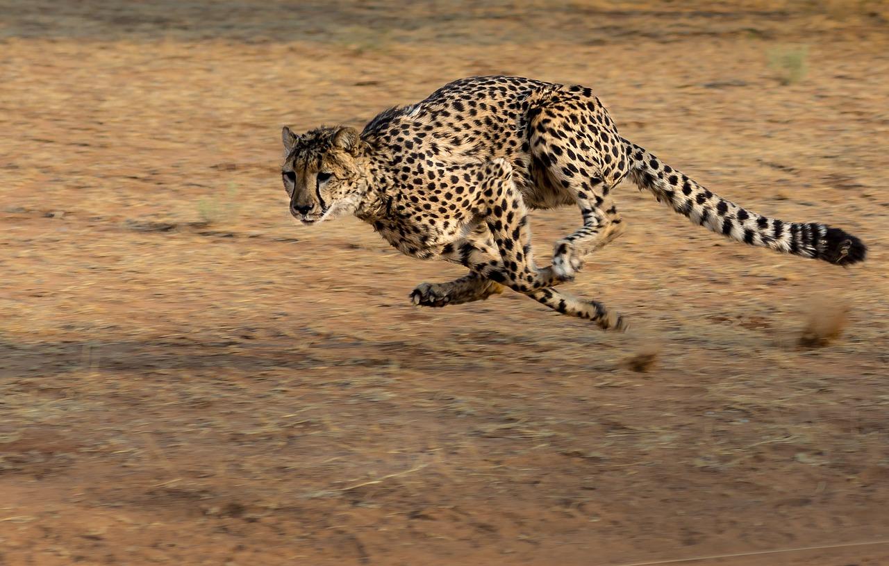 Schnellste Tier der Welt. Der Gepard ist es nicht!