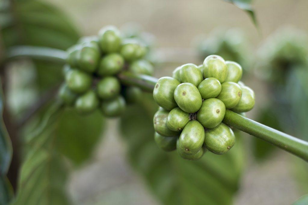grüner kaffee wirkung